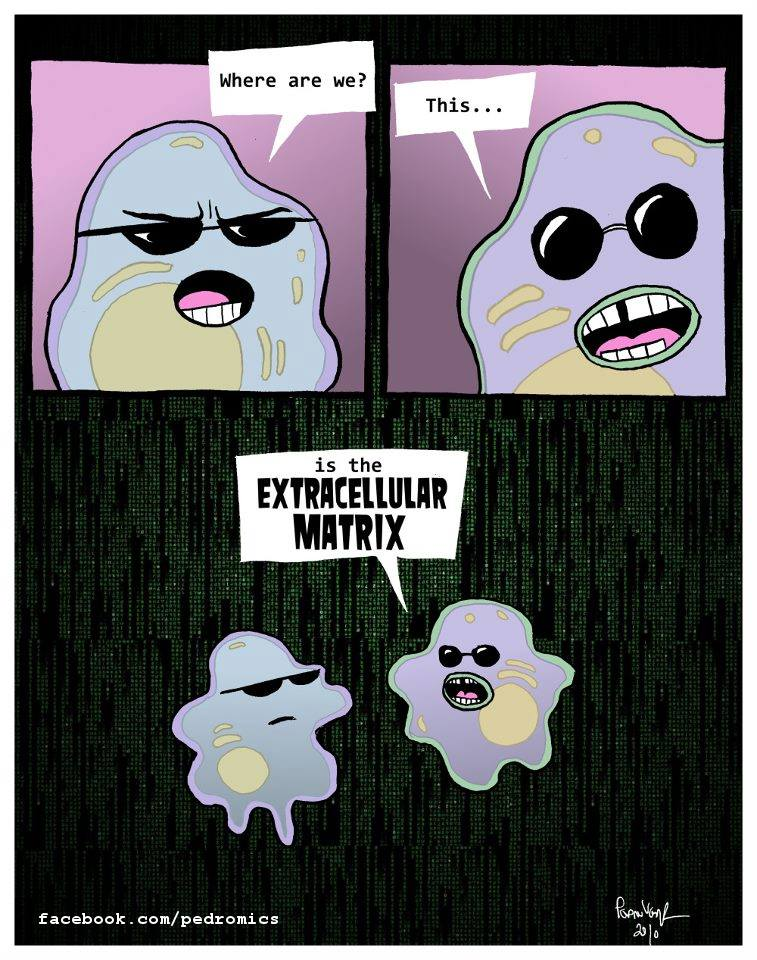 cells in the extracellular matrix cartoon