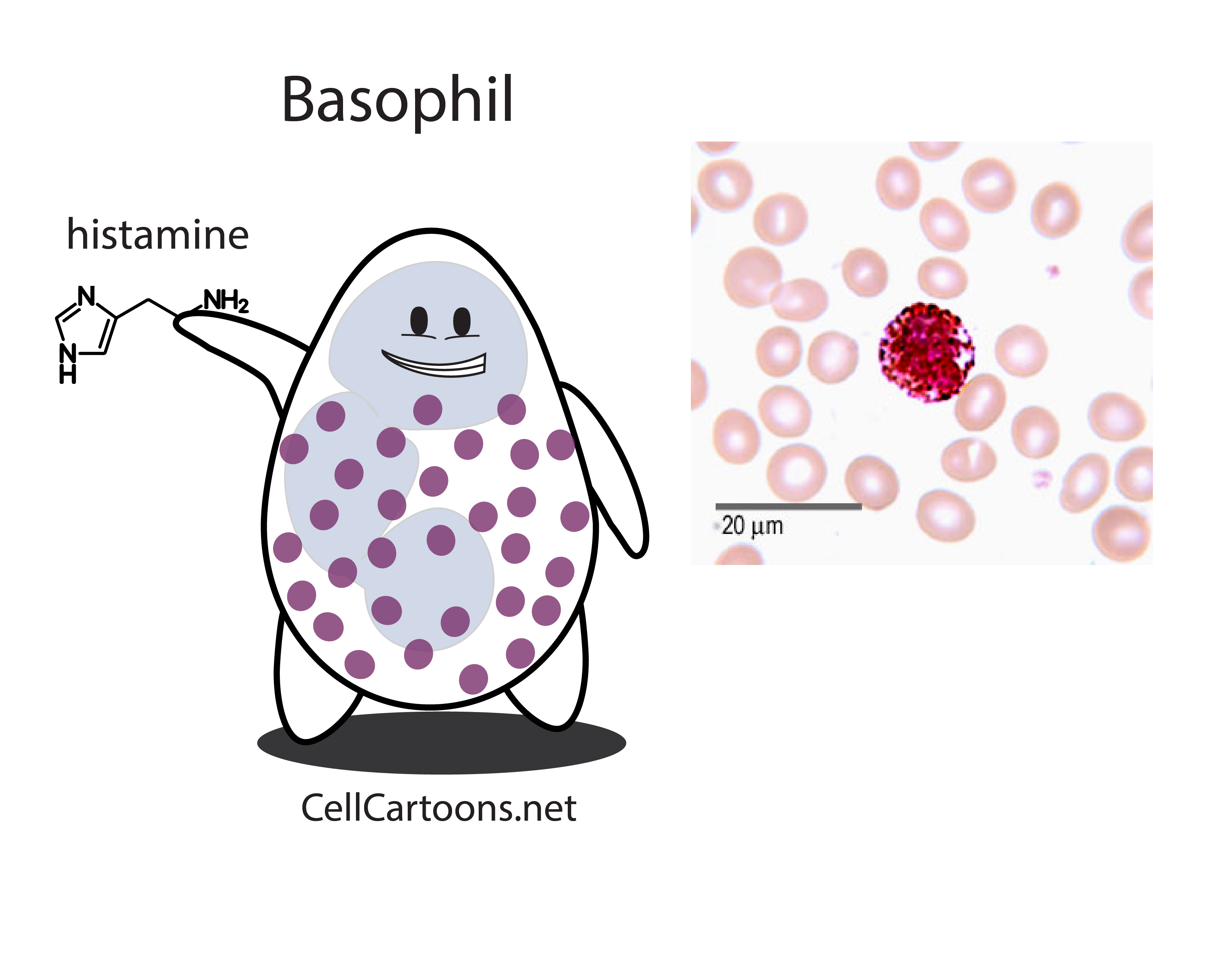 cartoon of immune cell called basophil