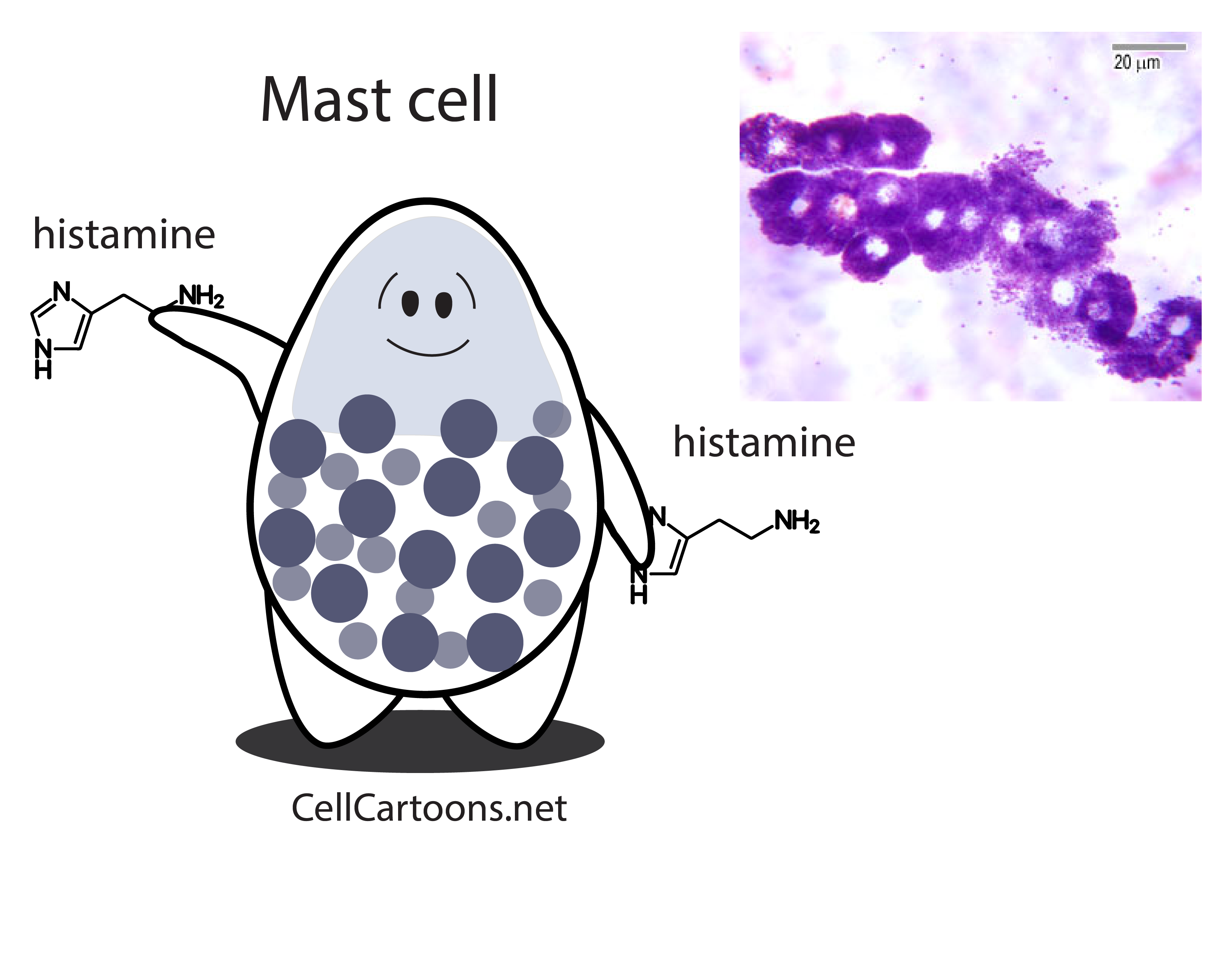 cartoon of a mast cell immune type