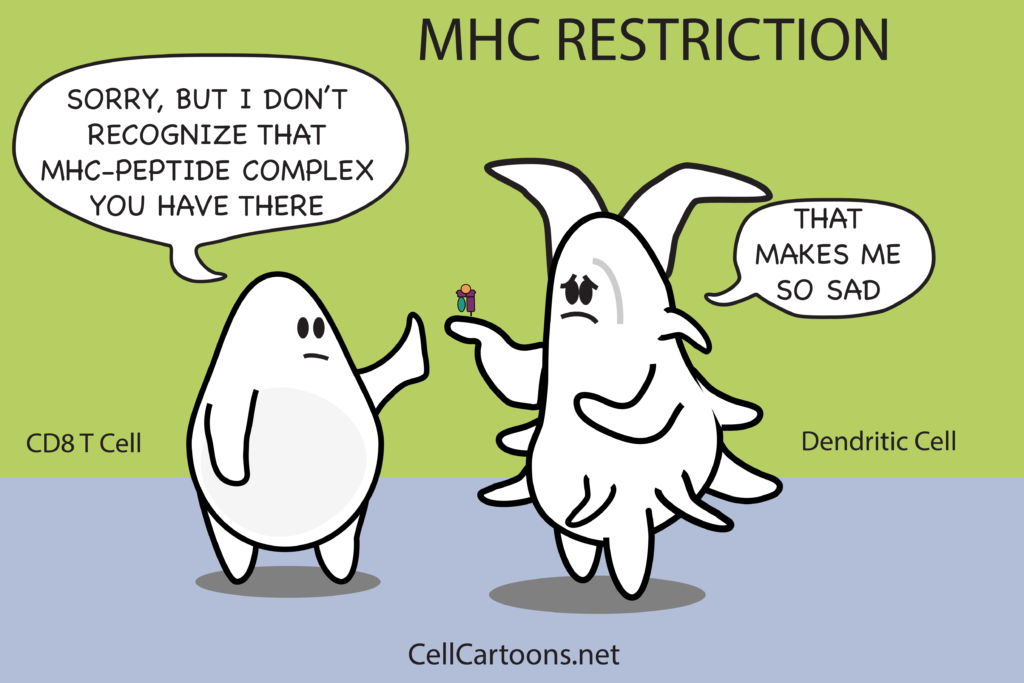 Cartoon of Dendritic Cell Presenting Antigen on MHC to T Cell