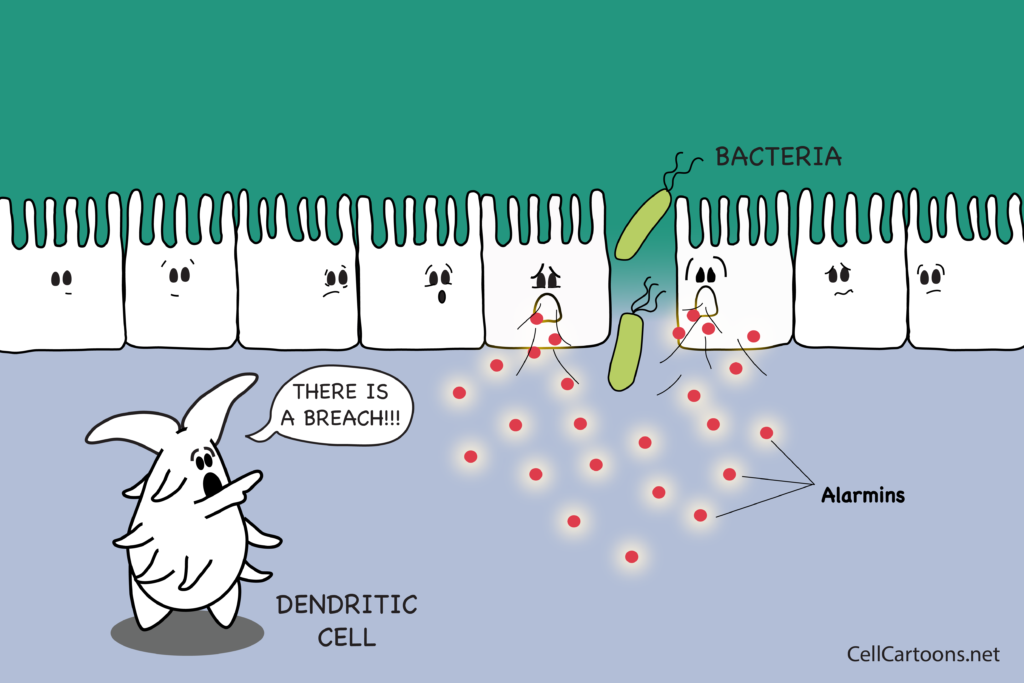 Cartoon of layer of epithelial cells compromised and dendritic cell sending alert