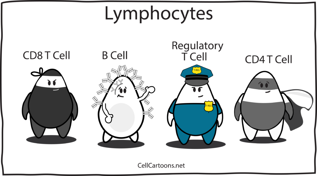 cartoon of lymphocytes T cells CD4, CD8, Treg and B cells