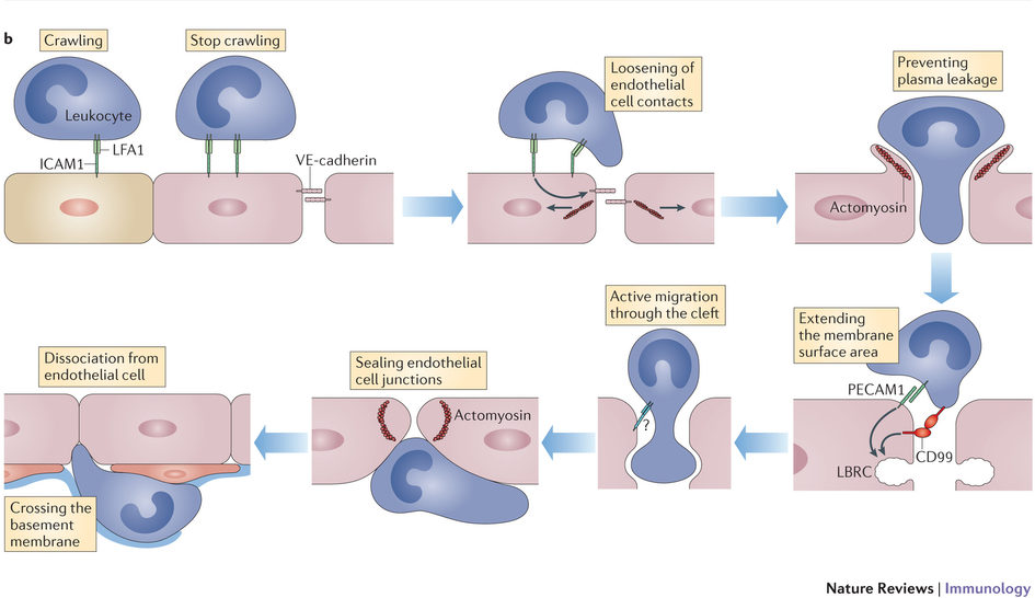 The multistep cascade of leukocyte extravasation. A range of cell adhesion receptors on endothelial cells (as shown at the bottom of the panel) mediates the capture, rolling, arrest and crawling of leukocytes on the luminal endothelial cell surface.