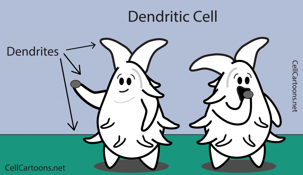 Dendritic Cell Cartoon Immunology antigen presentation