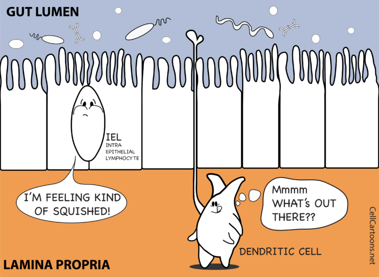 Cartoon of Dendritic Cell and Lymphocyte in the intestine