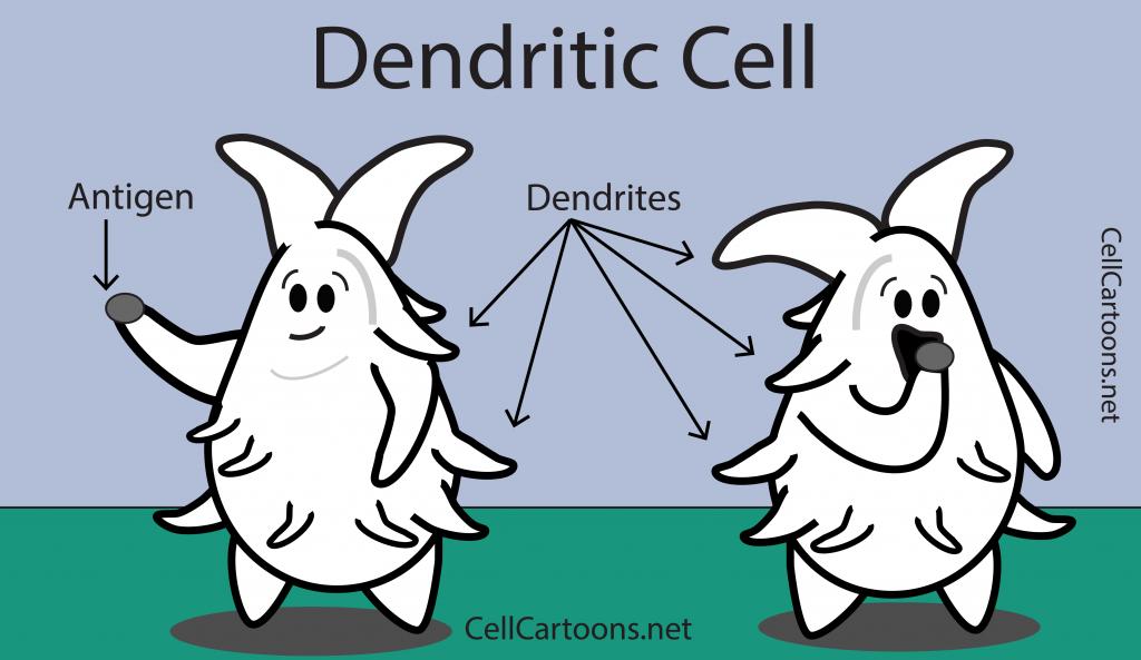 immune cell, dendritic cell taking up antigen for presentation