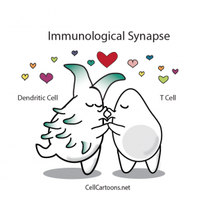 T cell and dendritic cell kissing